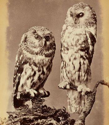 vintage owl art