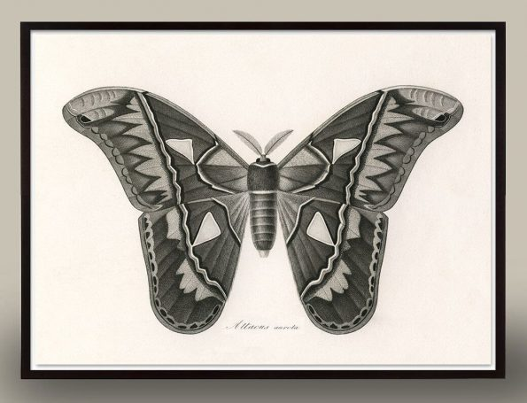 black and white antique butterfly print