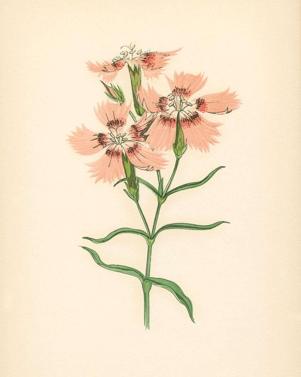 Pink Victorian Flower Botanical Print Capricorn Press
