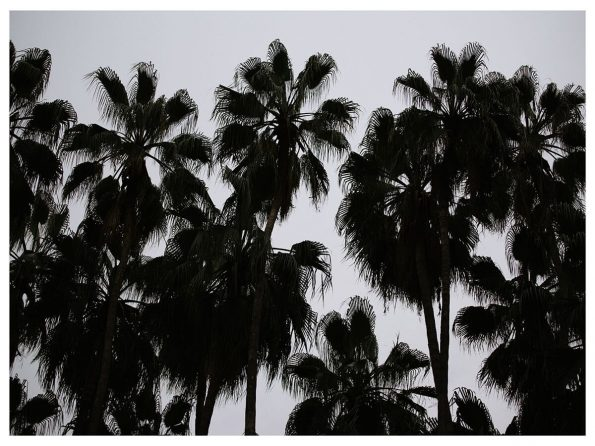 large palms photograph for sale